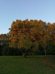 Baum mit Herbstlaub in Hattingen